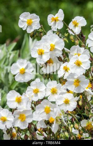 Helianthemum apenninum White Rock Rose