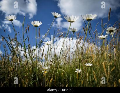 Big summer daisies - Stock Photo