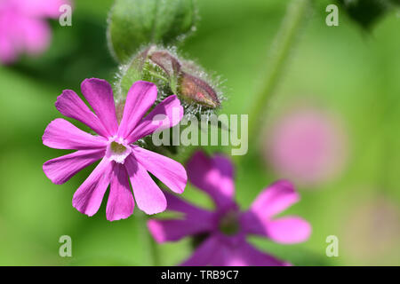 Macro shot of a red campion (silene dioica) flower in bloom - Stock Photo