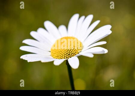 Bid daisies in the meadow - Stock Photo