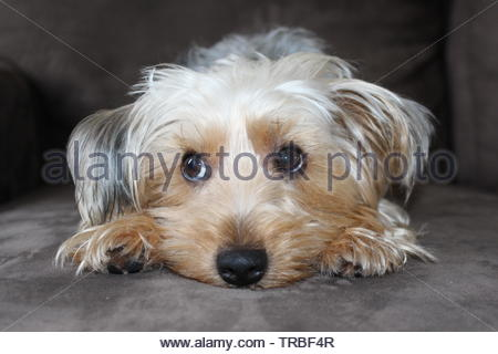 Cute little Yorkshire Terrier - Stock Photo