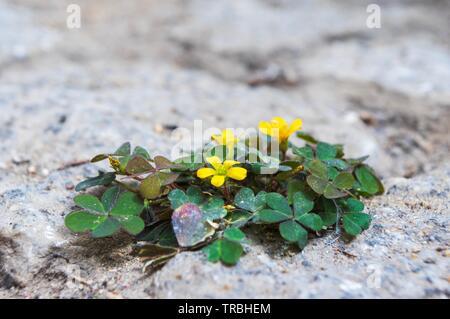 Oxalis corniculata var. repens growing between paving stones in sunlight - Stock Photo