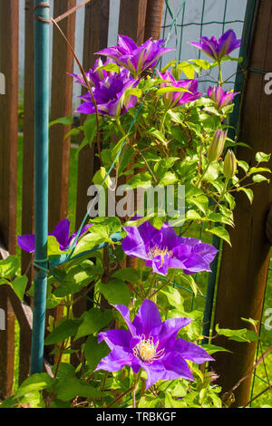 Flowers on a purple clematis plant in north east Italy - Stock Photo