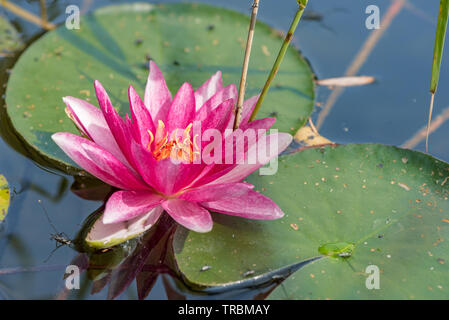 pink water lilies in the lake surrounded by reeds - Stock Photo
