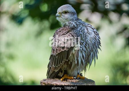 Gerfalke, Bird,Vogel, Voegel, Falco rusticolus), Gyrfalcon, - Stock Photo