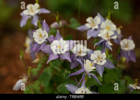 Colorado blue columbine (Aquilegia coerulea in the family Ranunculaceae) blooming in the spring in Boston, Massachusetts, USA. - Stock Photo