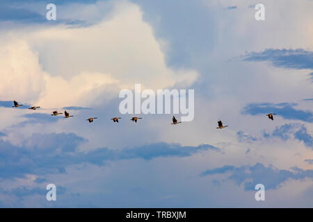 In this shot a flock of Canada Geese (Branta canadensis) fly in a line over Bear River Migratory Bird Refuge west of Brigham City, Utah, USA. - Stock Photo