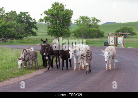 A family of wild donkeys walk together on a roadside area of Custer State Park in South Dakota where they are a tourist attraction. - Stock Photo