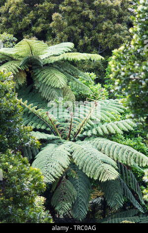 New Zealand Tree Fern in a lush green forest. - Stock Photo