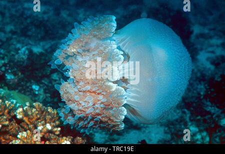 Blue and white jelly, Rhizostomae Jellyfish (Crambione mastigophora), drfifting over a coral reef, Pulau Redang, Kuala Terengganu, Malaysia - Stock Photo