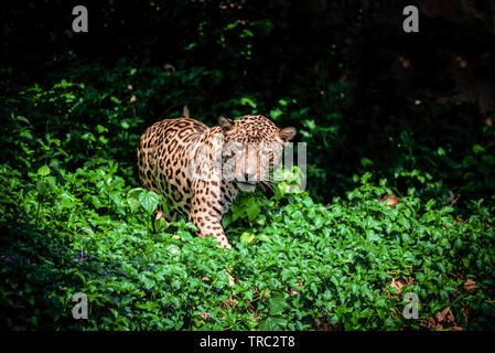 Tiger leopard jaguar animal wildlife hunting - Stock Photo