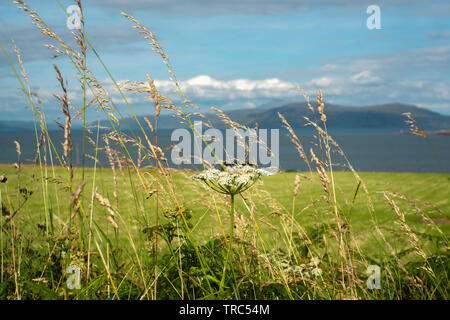 Machair Flowers With Sea and Hebridean Islands in the Background - Stock Photo