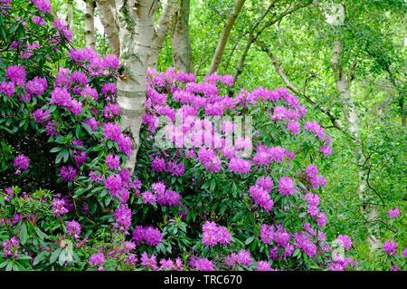pink flowering rhododendron flowers, pretty corner, sheringham, north norfolk, england - Stock Photo