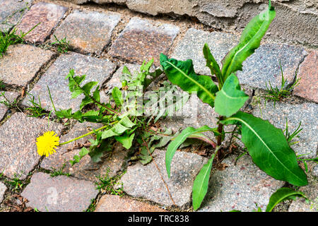 Weed control in the city. Dandelion and thistle on the sidewalk between the paving bricks. - Stock Photo