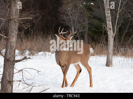White-tailed deer buck in the winter snow in Canada - Stock Photo