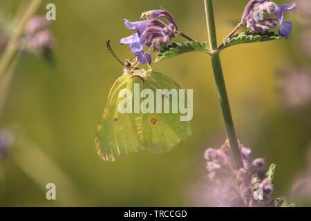Brimstone butterfly on blue-violet flower at a wildlife garden in Essex, Britain. Summer 2019.