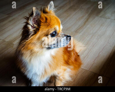 Small senior mixed breed dog of Pomeranian and chihuahua stock stares into the distance with a pensive expression - Stock Photo