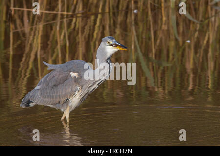 Detailed, close-up side view of wild, British grey heron bird (Ardea cinerea) isolated wading in shallow water of UK wetlands reedbed, fish in beak. - Stock Photo