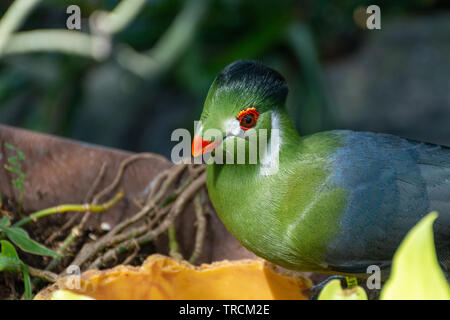 White cheeked turaco (Tauraco leucotis), a green vibrant tropical bird close up in the sunlight peeking through the rainforest in east africa. - Stock Photo