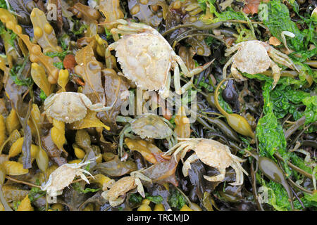 Common Shore Crab Carcinus maenas washed up on Beaumaris Beach, Anglesey, Wales - Stock Photo