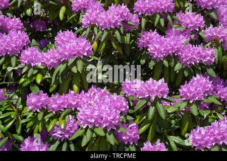 Close up of Rhododendron bush - Stock Photo
