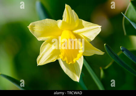 Head of a yellow daffodil flower blooming in the spring garden in close-up. - Stock Photo