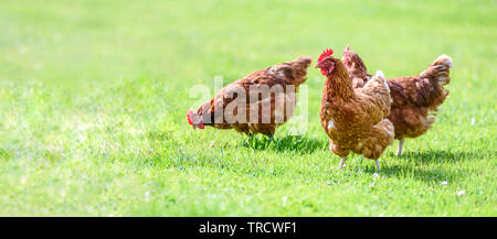 Hens on a traditional free range poultry organic farm grazing on the grass with copy space - Stock Photo