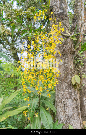 Multiple yellow orchids, hanging from a large tree, in Costa Rica - Stock Photo