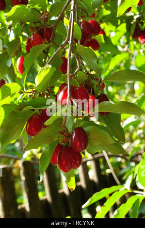 Branch of cornelian with bright red berries hangin above fence - Stock Photo