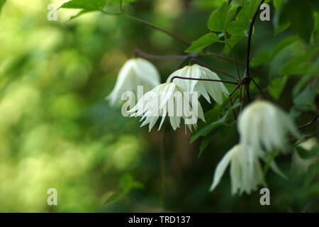 White double Atragene (clematis) variety Lemon Dream blooms on the wall in the garden. Beautiful white summer flowers in a vertical garden gardening. - Stock Photo