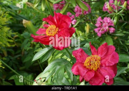 Paeonia Postilion. Red peony flower. Paeonia lactiflora (Chinese peony or common garden peony). - Stock Photo