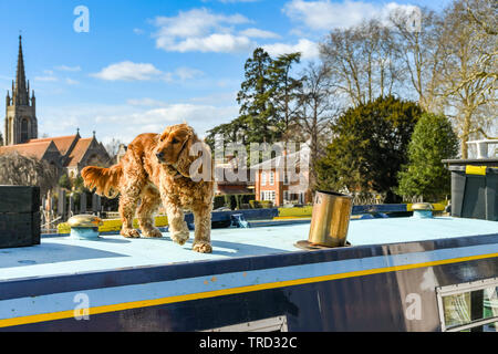 MARLOW, ENGLAND - MARCH 2019: Pet dog on top of a narrow boat on the River Thames in Marlow. - Stock Photo