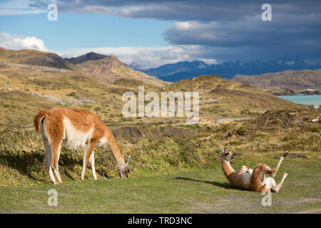 Guanaco on the grass in Torres del Paine national Park, Patagonia, Chile