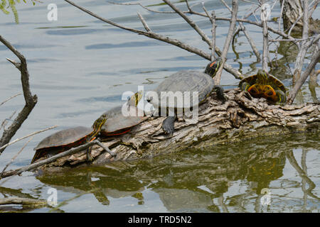 Wild red eared slider and western painted turtles sunbathing on submerged log at edge of lake - Stock Photo