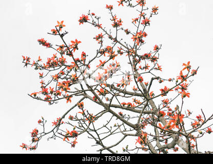 The beautiful Bombax Ceiba tree blooms in spring  This