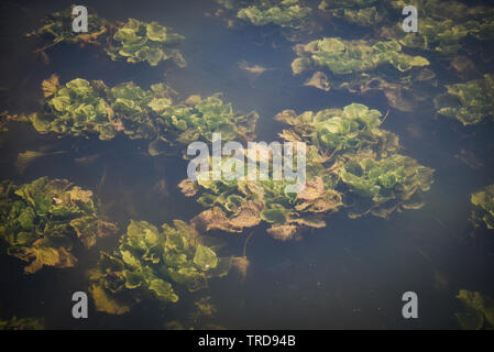 Fresh water weeds underwater / Plants water lettuce in the nature lake river - Stock Photo