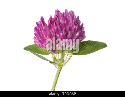 Clover flower  isolated on white background - Stock Photo