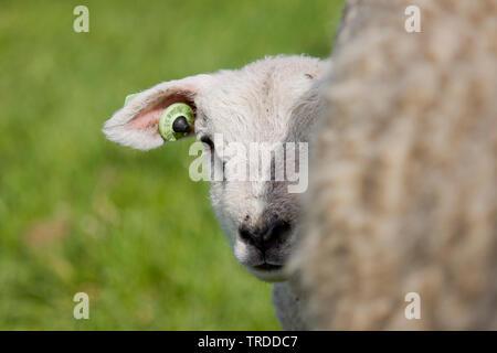 Texel sheep (Ovis ammon f. aries), lamb peering behind its mother, Netherlands, Texel - Stock Photo