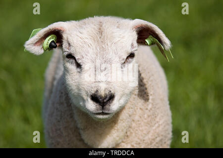 Texel sheep (Ovis ammon f. aries), lamb standing on a pasture, portrait, Netherlands, Texel - Stock Photo