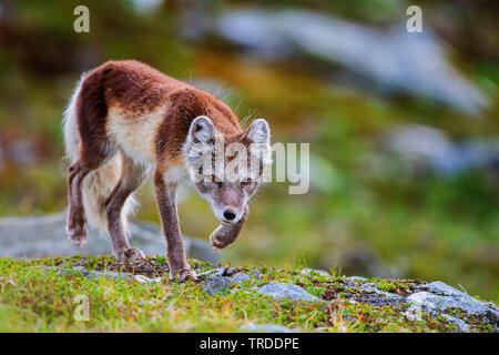 arctic fox, polar fox (Alopex lagopus, Vulpes lagopus), polar fox vixen in summer coat goes stalking, Norway - Stock Photo