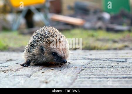 Western hedgehog, European hedgehog (Erinaceus europaeus), on a path in a garden, Netherlands - Stock Photo