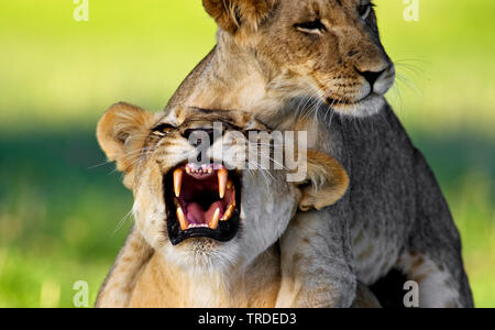 lion (Panthera leo), lion cub playing with its mother, South Africa, Kgalagadi Transfrontier National Park - Stock Photo