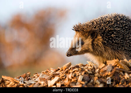 Western hedgehog, European hedgehog (Erinaceus europaeus), on woodchips, Netherlands - Stock Photo