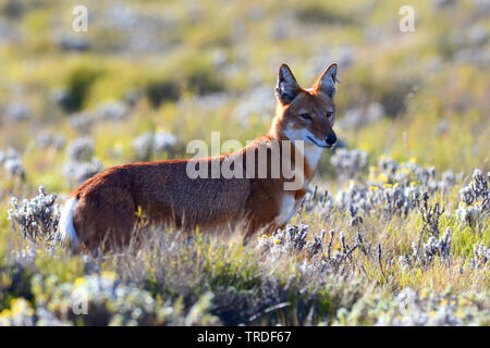 Simien jackal, Ethiopian wolf, Simien fox (Canis simensis), an endangered predator endemic to the Ethiopian Highlands., Ethiopia, Bale Mountains National Park - Stock Photo
