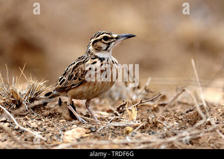 short-tailed lark (Pseudalaemon fremantlii, Spizocorys fremantlii), Ethiopia - Stock Photo