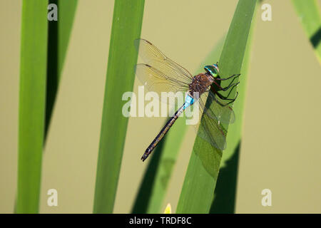 lesser emperor dragonfly (Anax parthenope), resting on reed leaf, Germany, Bavaria, Niederbayern, Lower Bavaria - Stock Photo