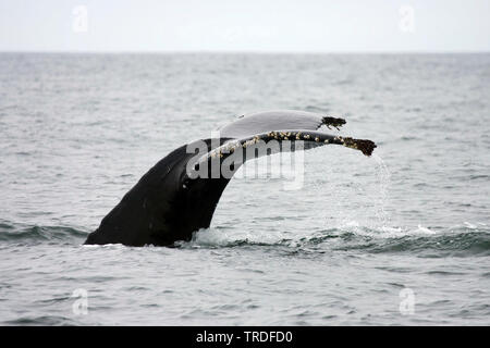 humpback whale (Megaptera novaeangliae), showing tail, USA, California - Stock Photo