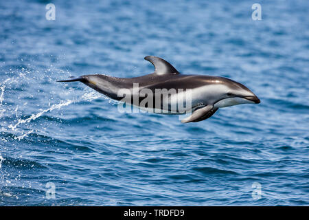 Pacific white-sided dolphin (Lagenorhynchus obliquidens), jumping clear out of the water, USA, California