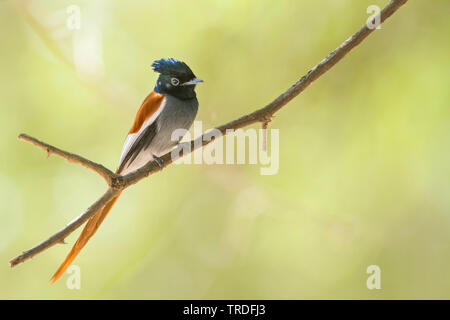 African paradise flycatcher (Terpsiphone viridis ssp. harterti, Terpsiphone viridis harterti), sitting on a branch, Oman - Stock Photo
