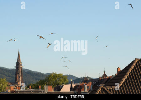 Alpine swift (Apus melba, Tachymarptis melba), flying over Freiburg, Germany - Stock Photo